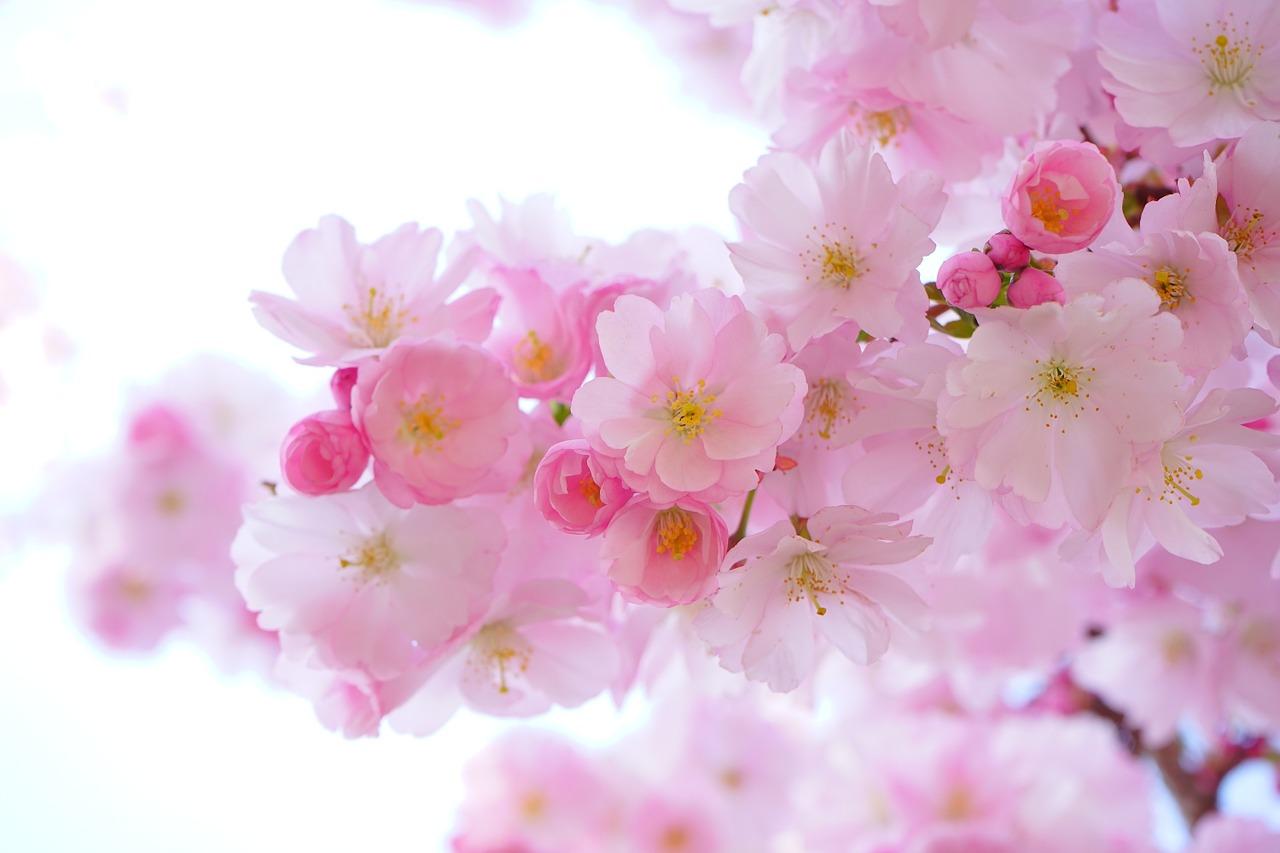 Tatuaż Kwiat Wiśni Sakura Symbolika Etatuatorpl